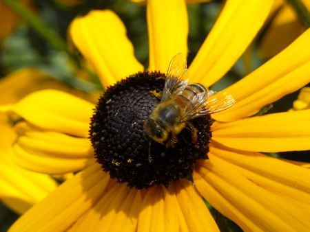 Bee pollinating a black-eyed susan flower