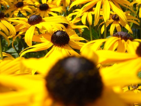 Black-eyed susan flowers receding into distance Фото со стока
