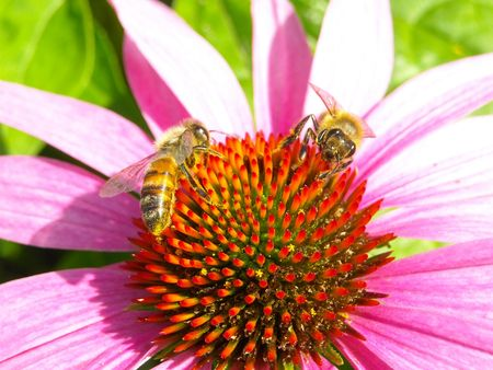 Bees pollinating an echinacea flower