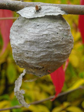 A wasps nest on a tree branch. Фото со стока