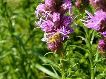 A bee pollinating a purple flower Фото со стока