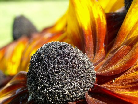 A cone flower