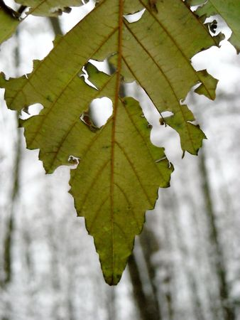 A decaying leaf 免版税图像