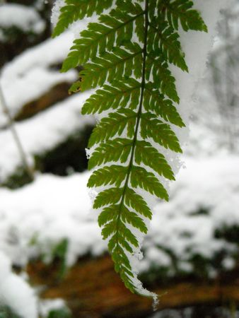 A snow covered fern frond