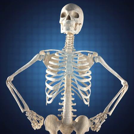 human skeleton model on blue background photo