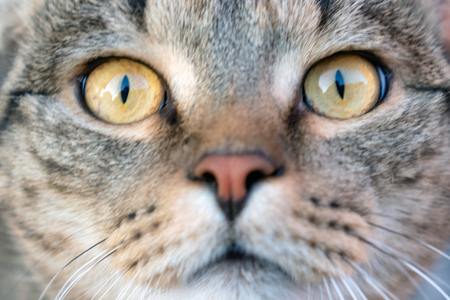 Ð¡at close-up. Yellow eyes of a cat.