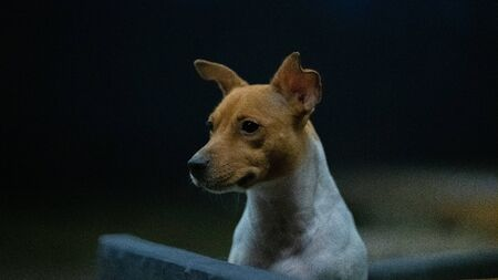 dog breed Jack Russell closeup