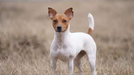 dog breed Jack Russell is walking in the meadow