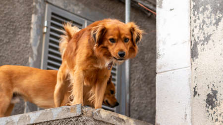 two brown purebred dogs on a rooftop, Madeira, Portugal
