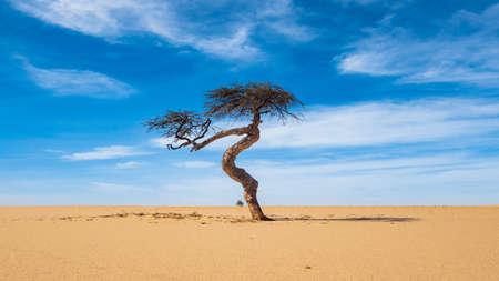 single acacia tree in the desert with blue sky background, Sahel zone, Mauritania