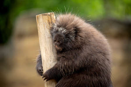 funny close-up of porcupine leaning on wooden pole in awkward position Standard-Bild