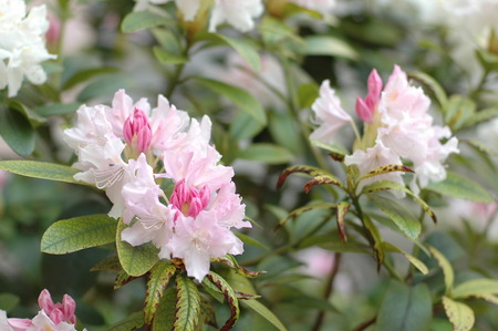 paeonia: flower - Paeonia Stock Photo