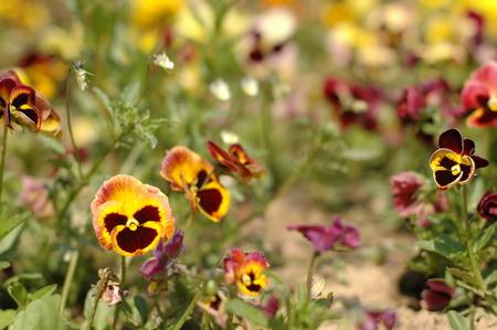 flower - Viola tricolor Stock Photo