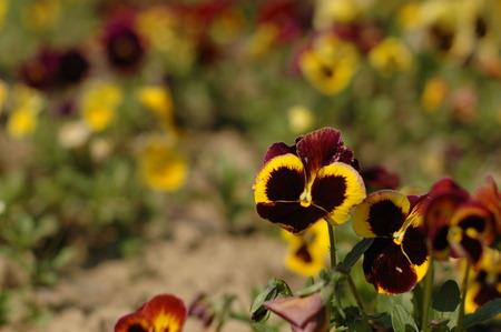 farbe: flower - Viola tricolor Stock Photo