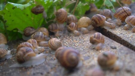 Helix Aspersa Muller, Maxima Snail, Organic Farming, Snail Farming, Edible snails on wooden snails boards. Production of Snails. Snail Farm. Mollusk snails