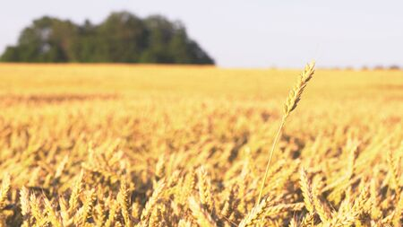Wheat field. Ears of golden wheat close up. Rich harvest Concept 스톡 콘텐츠