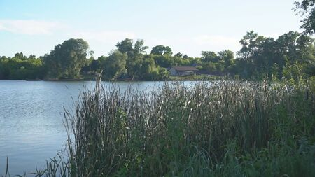 Green leaves of young reeds on a warm day sway over a blue pond