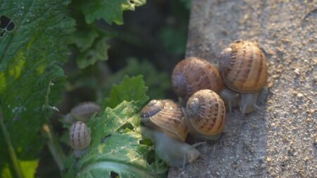Snail shell between fresh sprout leafs. Mollusk snails with brown striped shell