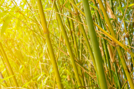 Young bamboo forest. Close Up Stock Photo