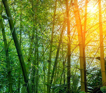 Bamboo forest in morning sunrays. Color Toned