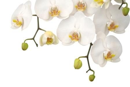 orchidee: Bianco orchidea isolato su sfondo bianco Archivio Fotografico