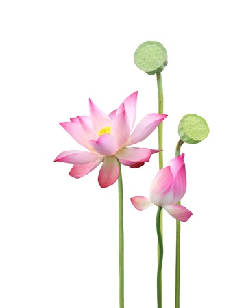 sacred lotus: lotus flower and seedpod