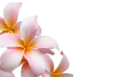 plumeria on a white background: Frangipani (plumeria) border