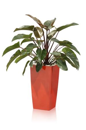 House plant - tropical  photo