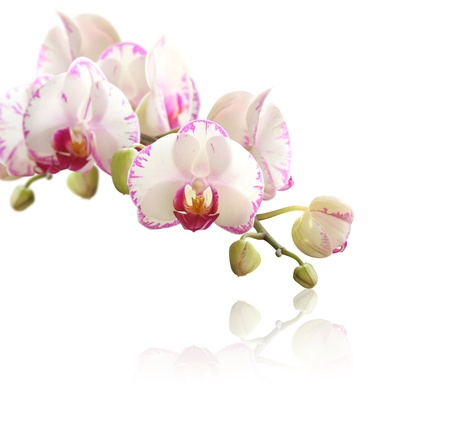orchid branch: Orchid on white