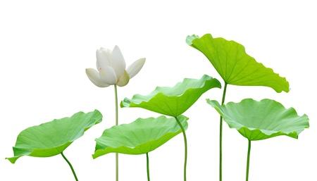 lirio acuatico: Flor de loto y hojas aisladas en blanco
