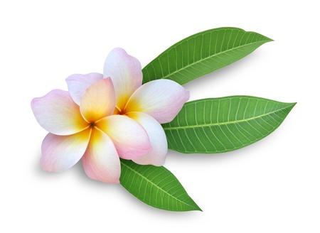 plumeria on a white background: Frangipani (Plumeria)