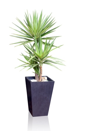 potted plants: House plant - Yucca