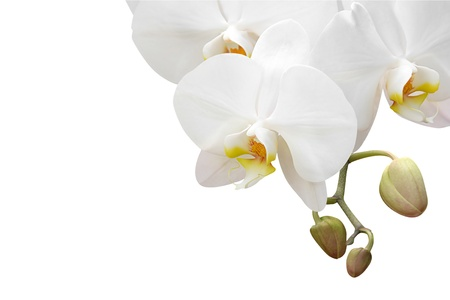 white orchid: White orchid isolated on white background