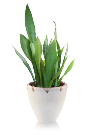 plant pot: House plant on white background - Sansevieria