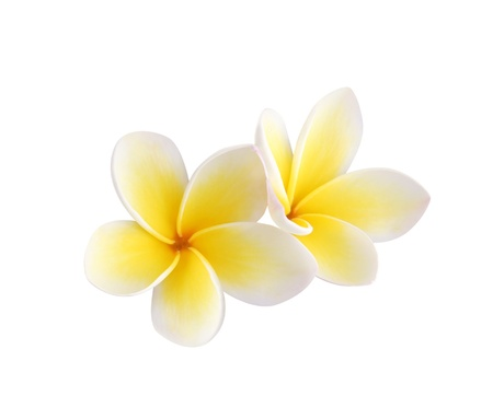 frangipani flower: Frangipani on white background