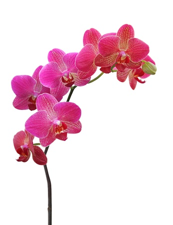 red orchid: Orchid on white