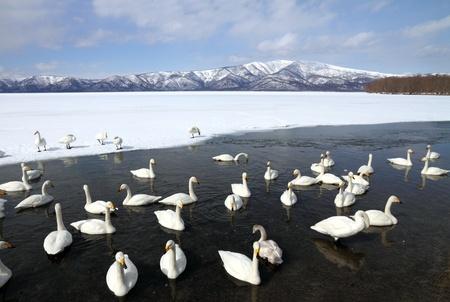 Swan lake  Stok Fotoğraf