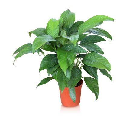 家の植物 - 平和リリー 写真素材