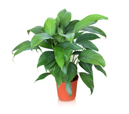 Potted plants: House plant - peace lily Stock Photo