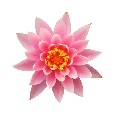 白地にピンクの睡蓮
