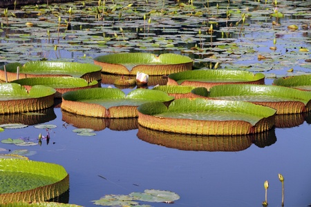 vitoria: Victoria Regia - the largest waterlily in the world