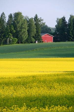 finnish: Rapeseed field Stock Photo