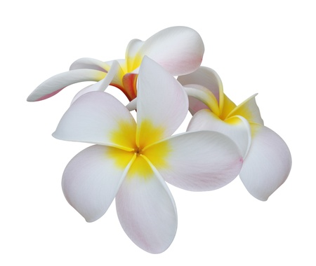 Frangipani on white background photo
