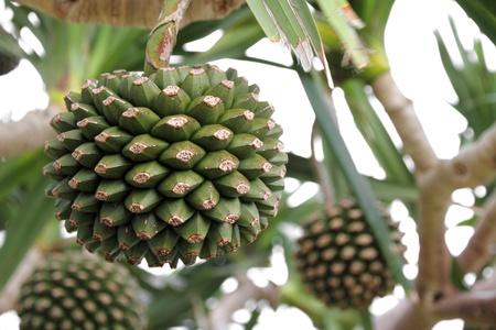 okinawa: Adan fruit tree in Okinawa, Japan