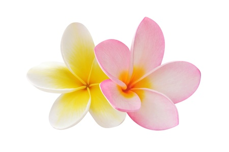 tropical flowers: Two frangipani flowers Stock Photo