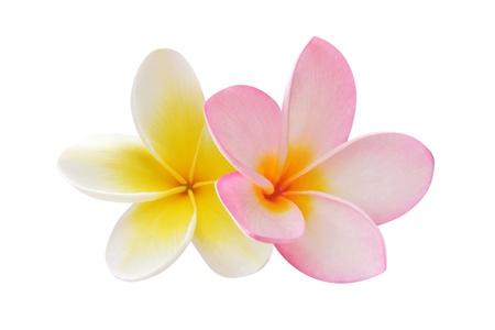 plumeria on a white background: Two frangipani flowers Stock Photo