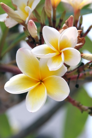 lei: Frangipani in a tropical garden Stock Photo