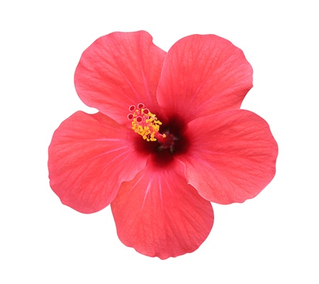 hibiscus: Hibiscus flower - isolated, path included