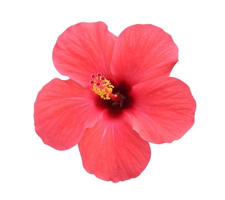 ibiscus: Hibiscus flower - isolato, percorso incluso