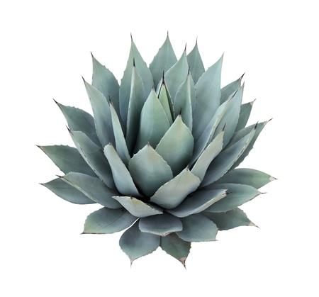 Agave plant geïsoleerd op wit